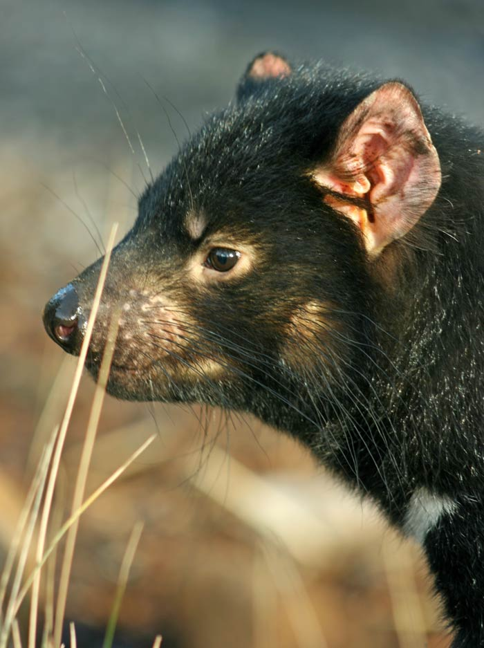 Tasmanian Devil In Wildlife park