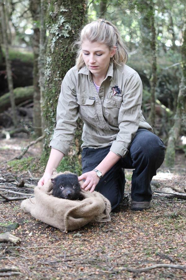 tasmanian devils conservation image